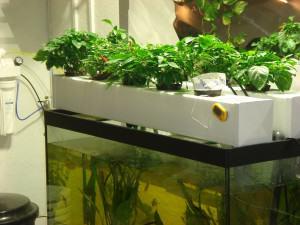 Cultiu de marihuana en aquaponia