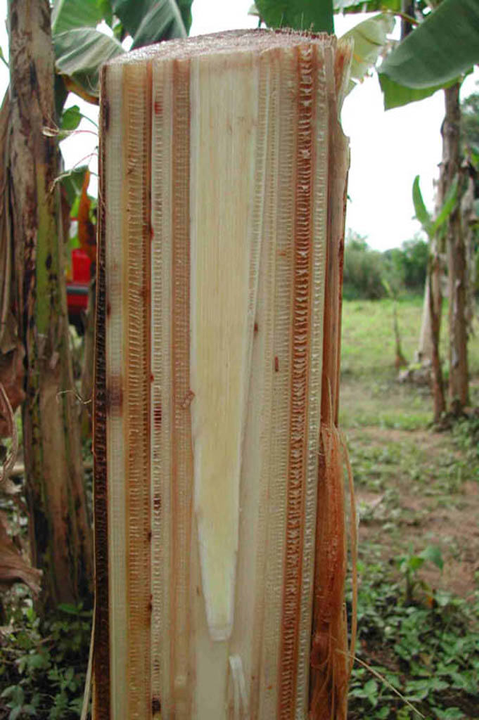 Danys vasculars causats per Fusarium en un bananer
