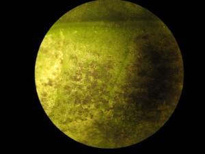 Teixit d'alfàbrega afectat per míldiu, vista microscòpica