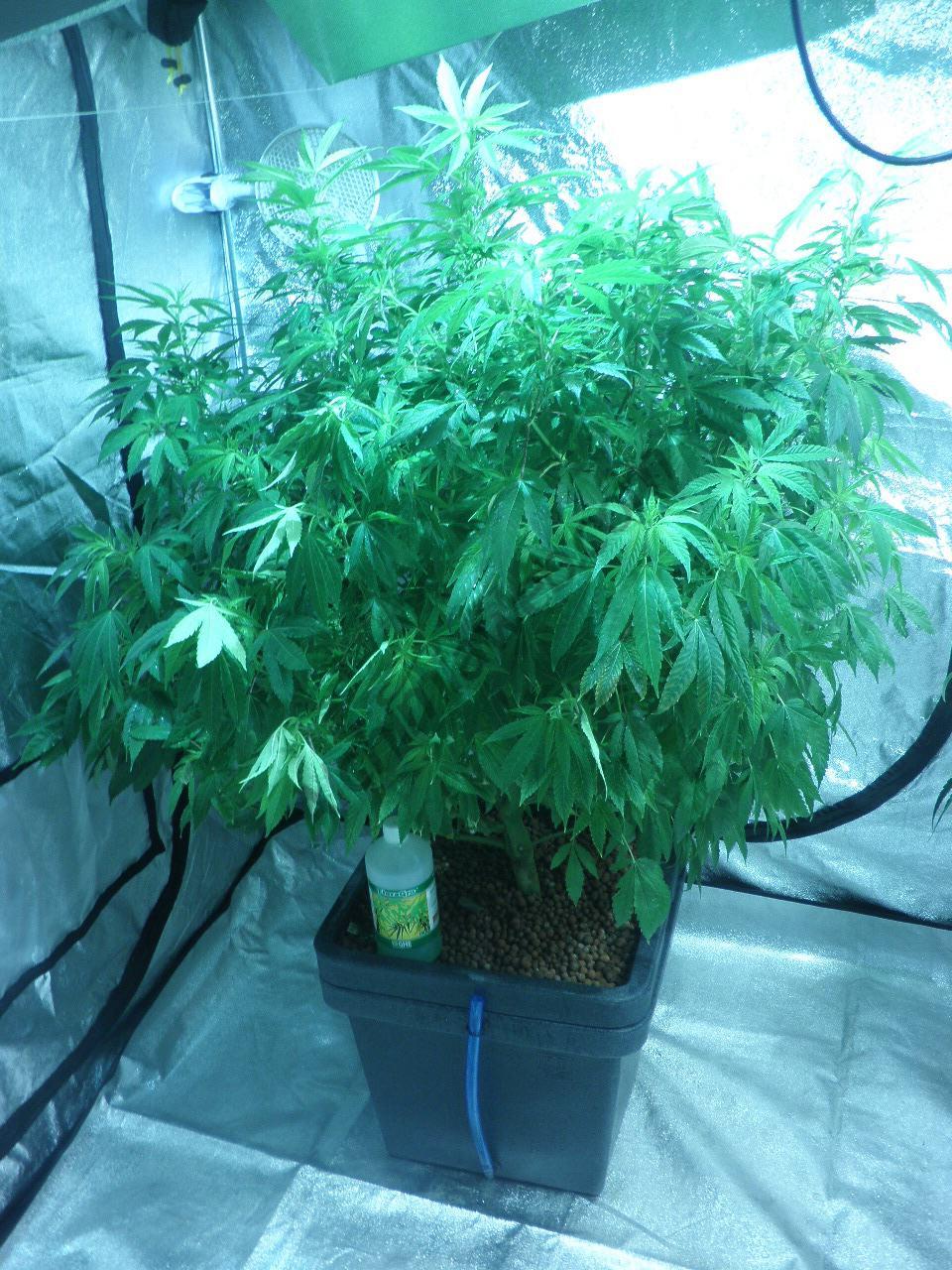 Marihuana culivada en Aquafarm
