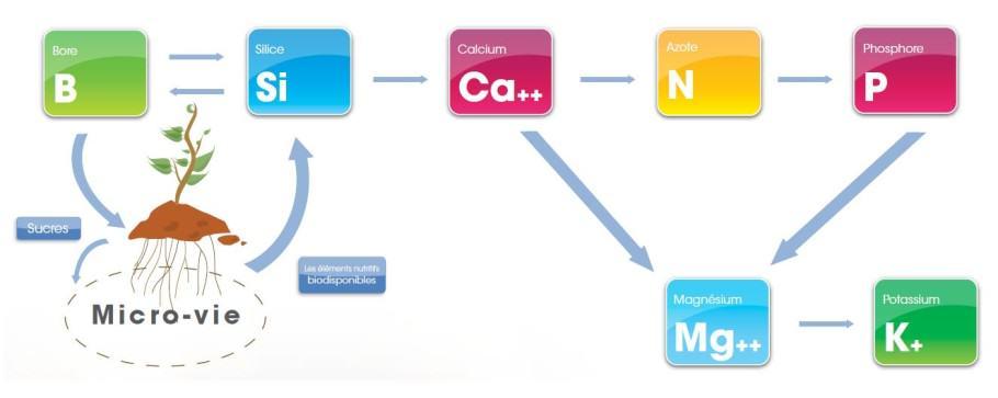 Seqüència dels nutrients en la marihuana (font = Aptus)