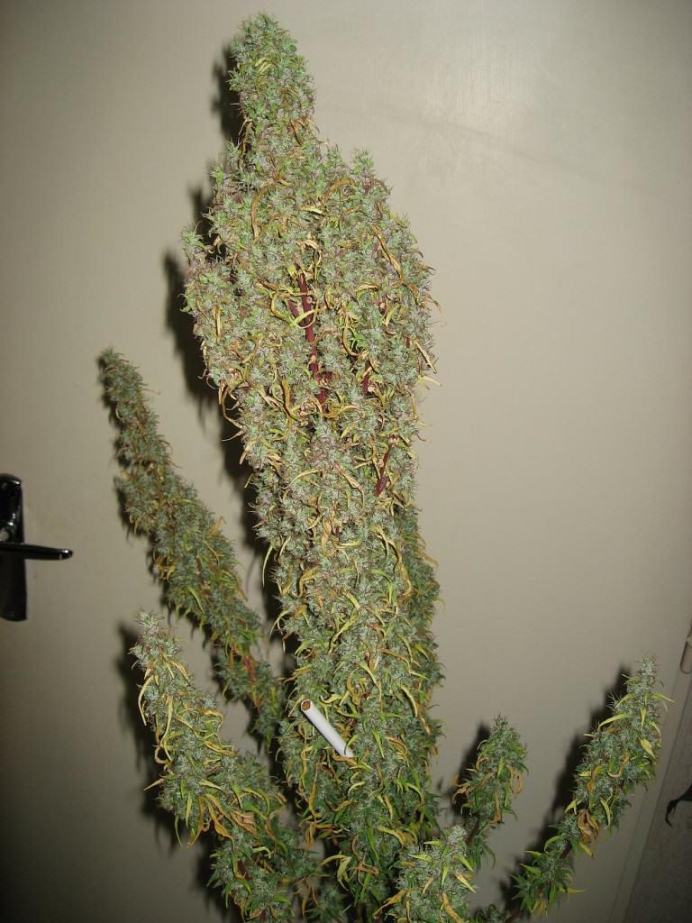 Planta de marihuana ben rentada, a punt per a la collita