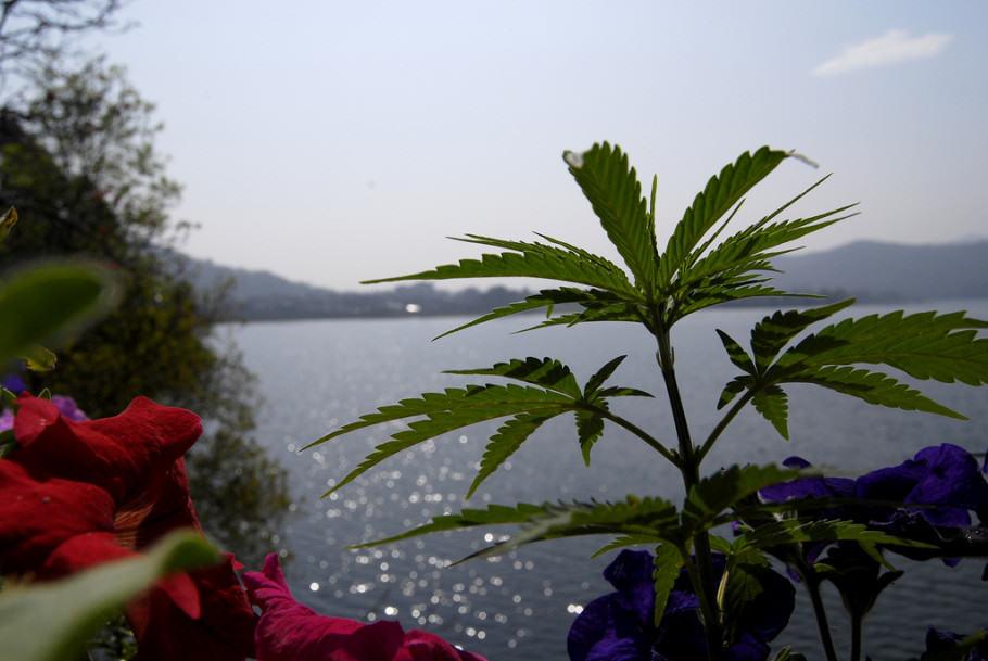 Història del cultiu del cànnabis