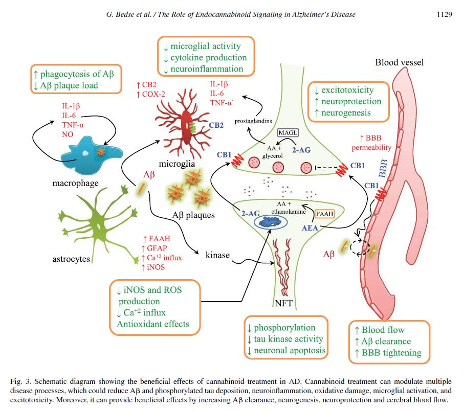 Efectes beneficiosos dels cannabinoides contra la malaltia d'Alzheimer