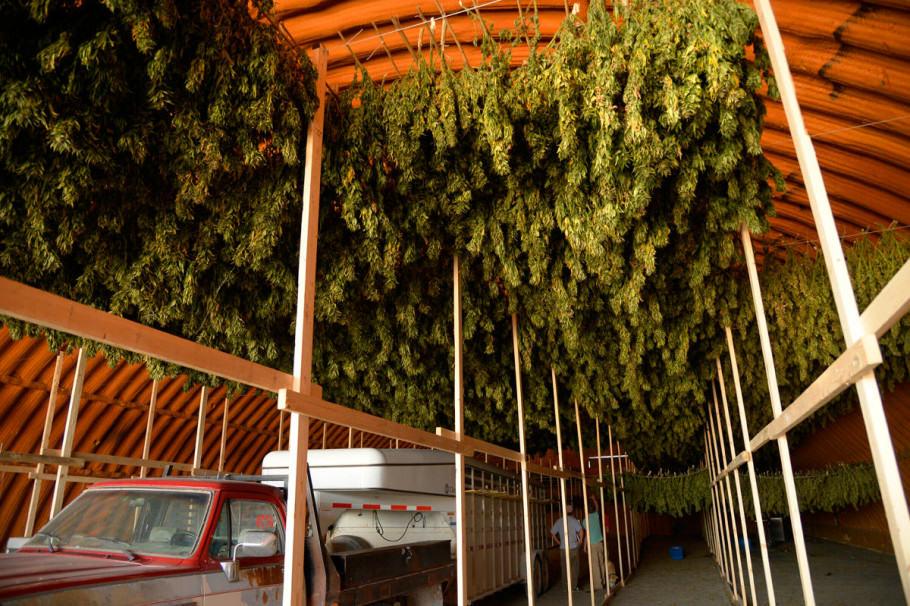 Assecat de plantes de marihuana per fer oli de CBD