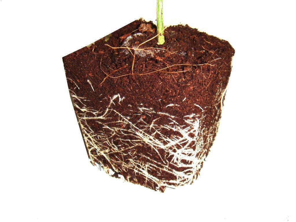 Desenvolupament correcte d'arrels abans de florir