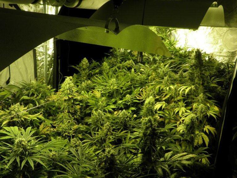 Màxima producció de marihuana en el cultiu en interior