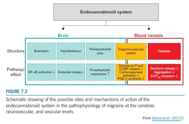Mecanismes de l'acció del sistema endocannabinoide sobre les migranyes