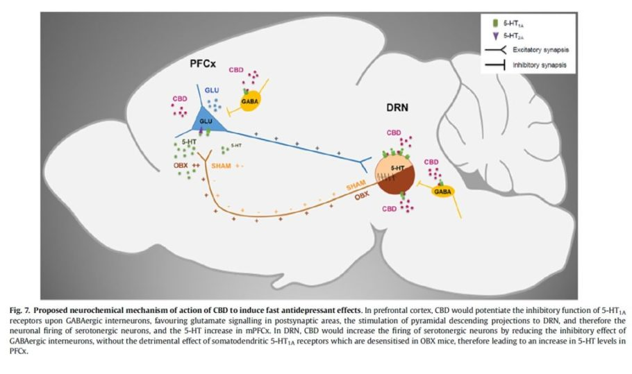 Efectes antidepressius i ansiolítics del CBD