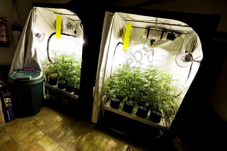 Plantes de la Spicy CBD repartides en dos armaris de floració