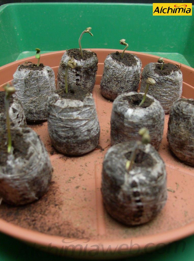 Com germinar llavors de marihuana