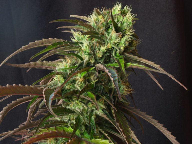 El cànnabis té efectes sobre el son