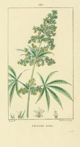 Dibuix d'un mascle de cànnabis, 1800 (Foto: Flickr)