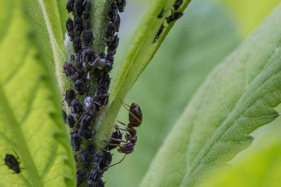 Pugons i formigues treballen junts