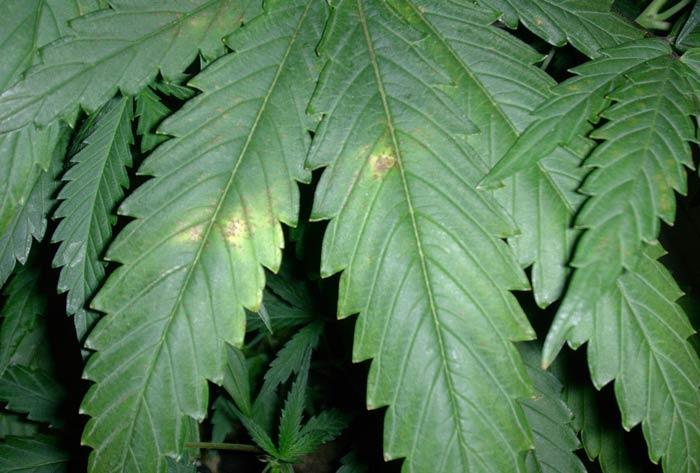 Atac d'Alternaria en una fulla (Font: Cannabis Magazine)