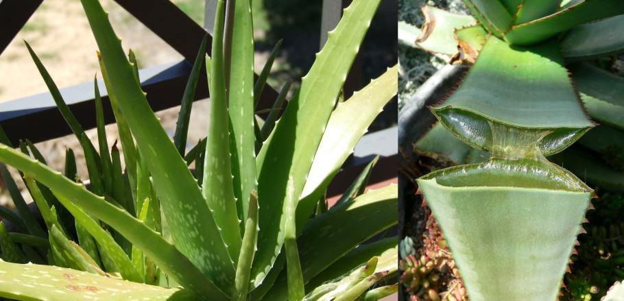 Les fulles d'Aloe Vera contenen un suc molt ric en principis actius