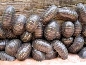 Cotxinilles de la humitat (Foto: Woodlouse)