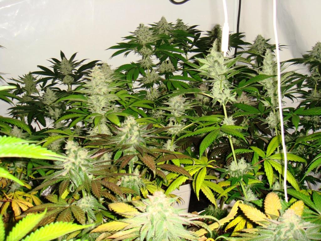 Esgrogueïment de les fulles cap al final del cultiu, plantes amb poc adob en el seu metabolisme