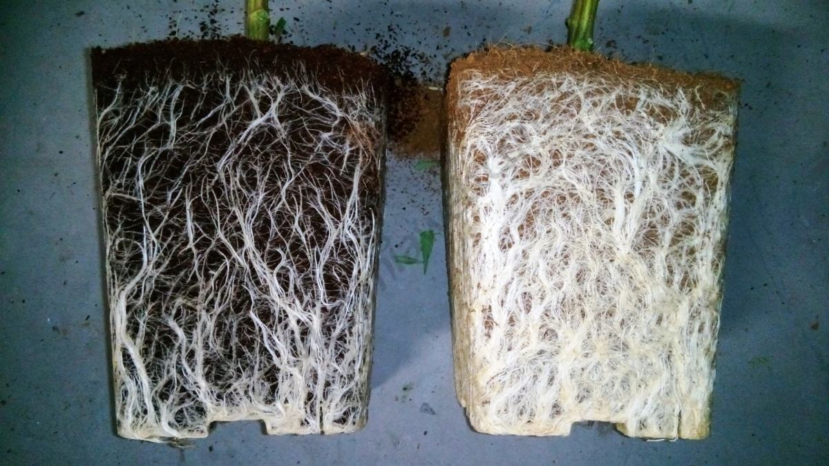 Arrels en perfecte estat, a l'esquerra una planta amb arrels sense l'ús de Trichodermas i a la dreta les arrels d'una planta usant Trichodermas. Enorme diferència!