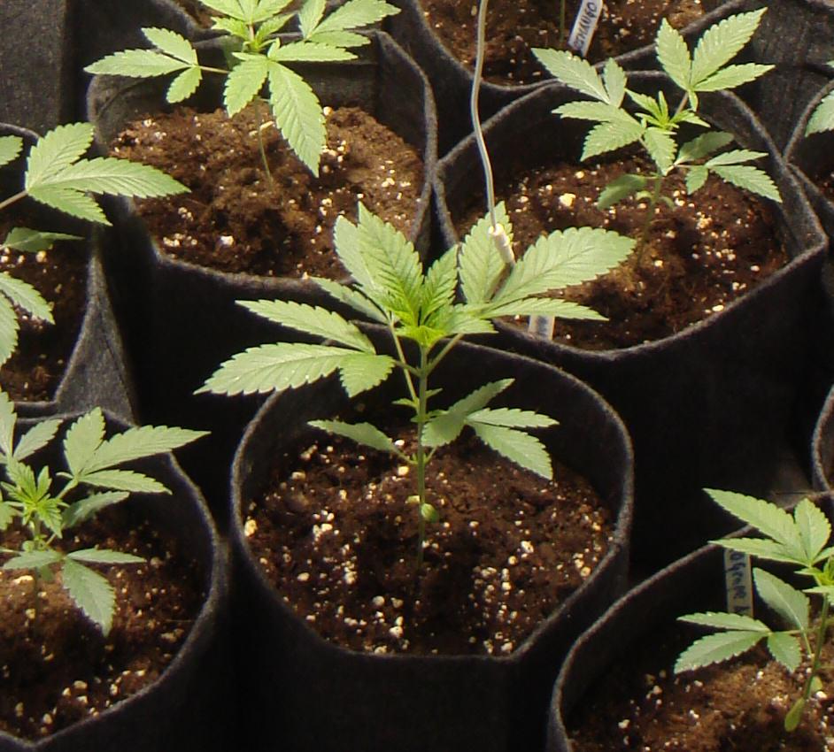1era setmana de creixement de la varietat BC God Bud
