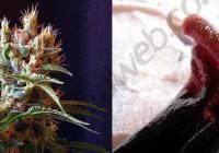 Hashishene: El nou terpè de la marihuana