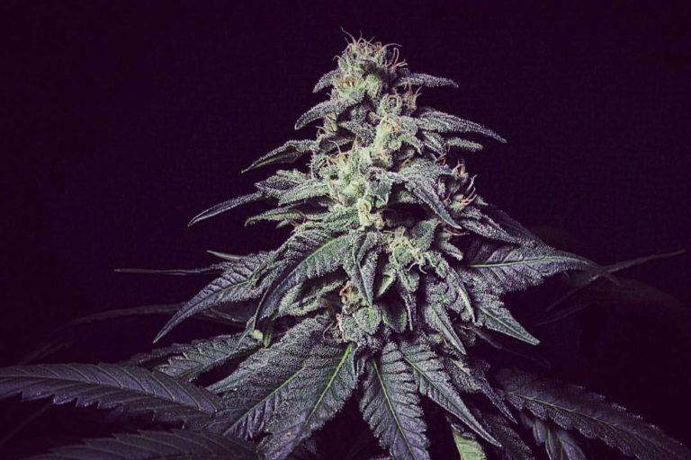 Marihuana Harybo de R-Kiem Seeds