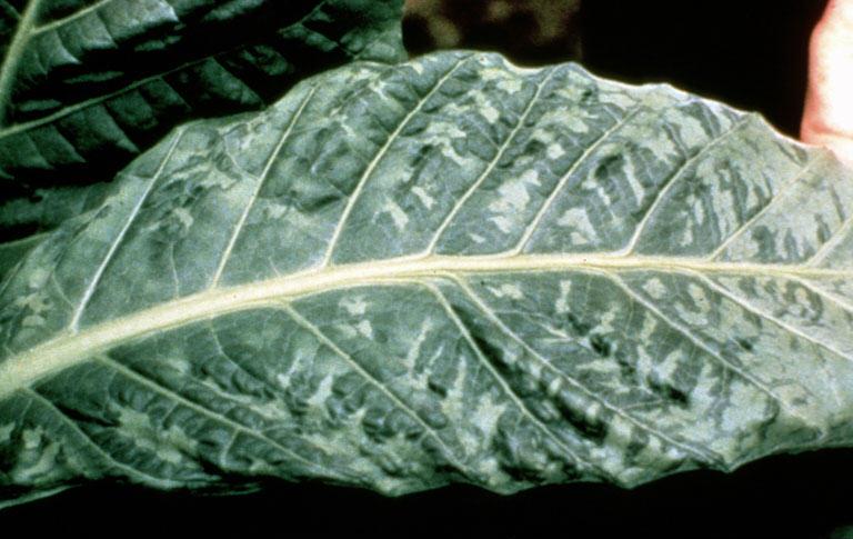 Fulla de tabac infectada per VMT (Font: Wikipedia)