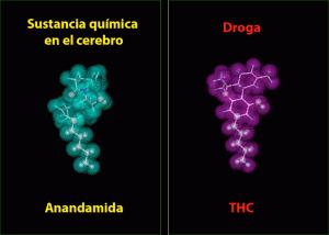 Estructures moleculars del THC i la Anandamida