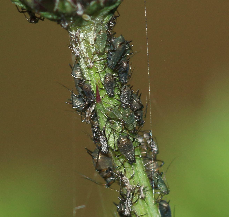 Els pugons també s'assentaran en els troncs de les plantes