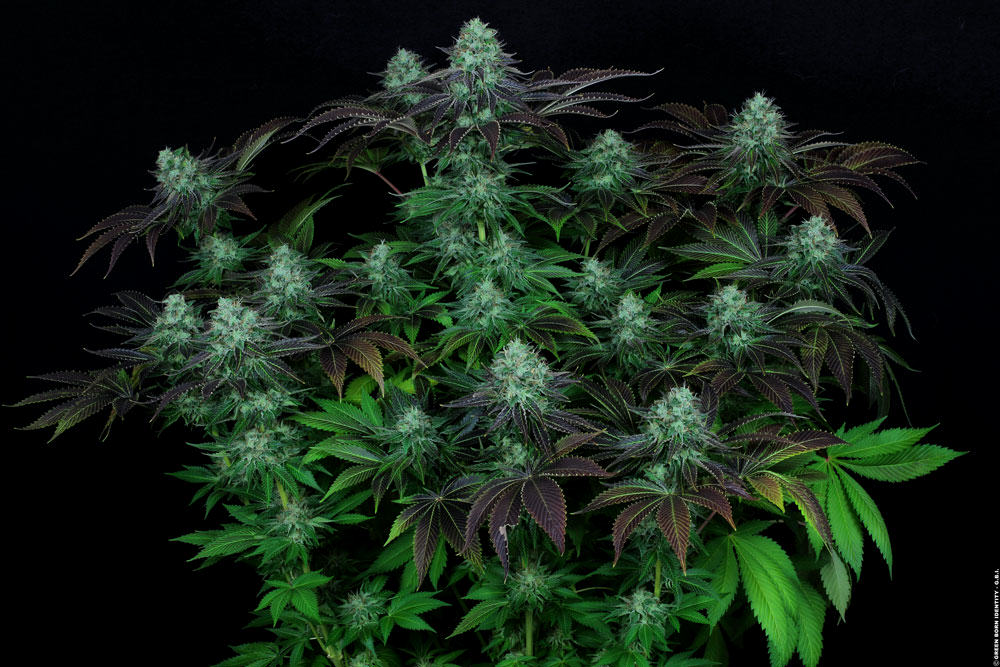 Marihuana Darkstar Índica de TH Seeds
