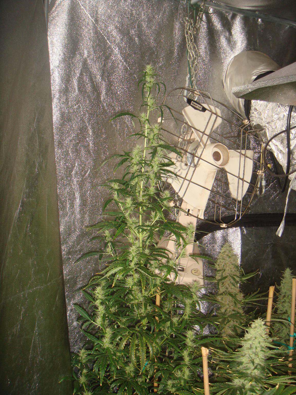 Planta de marihuana Sativa a l'esquerra. Quan els híbrids ja estan gairebé per collir, les Satives pures només estan començant a florir.