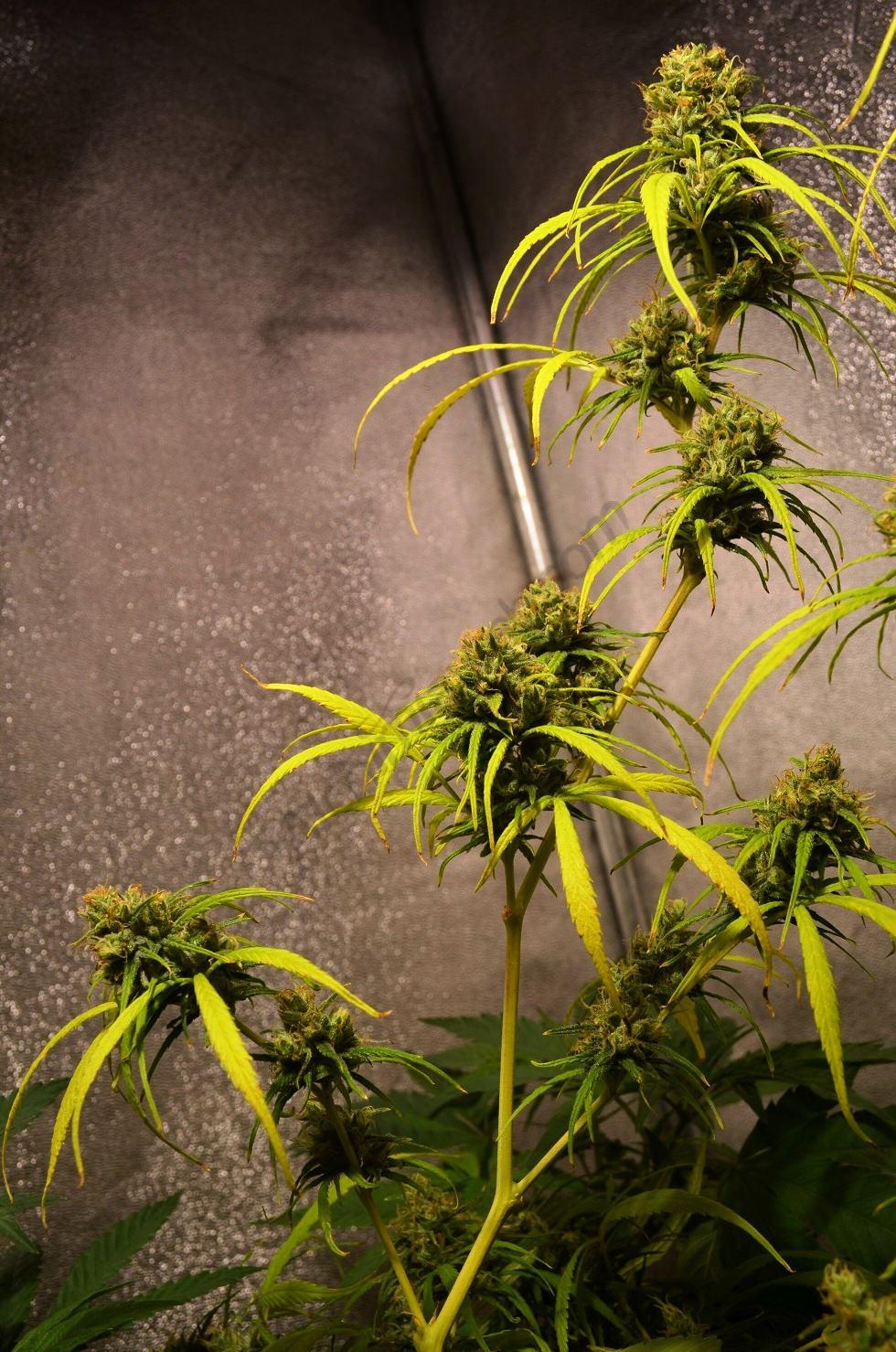 Marihuana Sativa d'un cultiu en interior