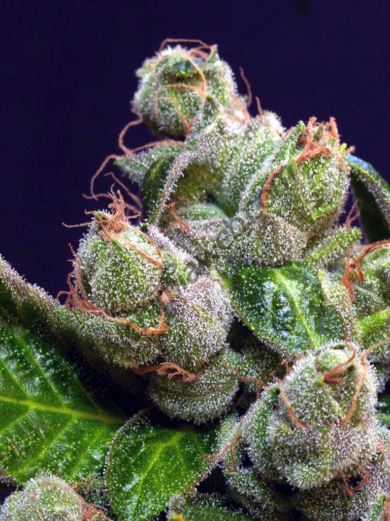Història de la marihuana Diesel