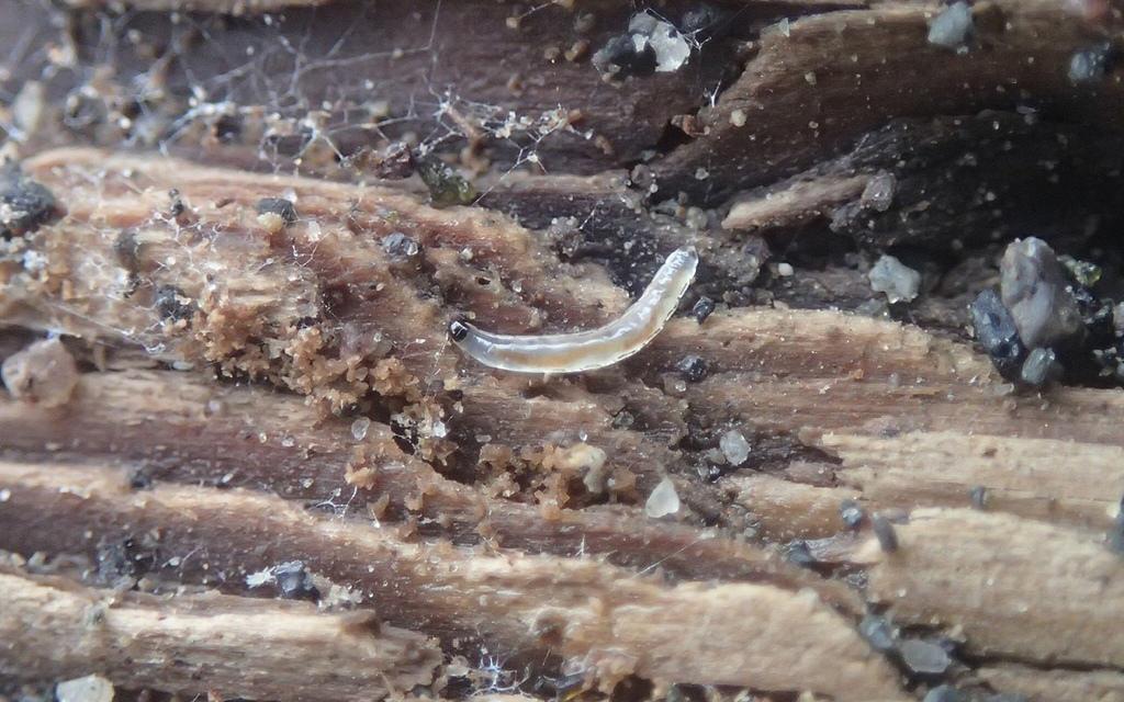 Larva de Sciaridae a punt de convertir-se en adulta