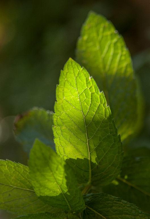 L'olor de la menta repel·leix la mosca del sòl