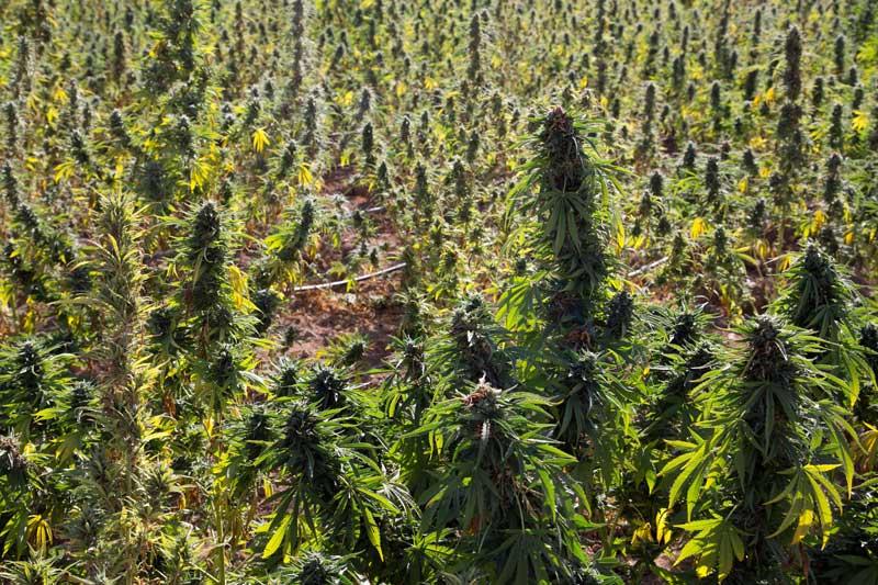 Marihuana Afghana