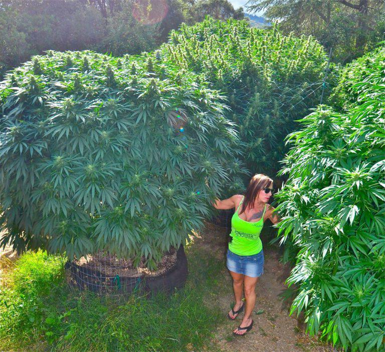 Màxima producció de marihuana en exterior