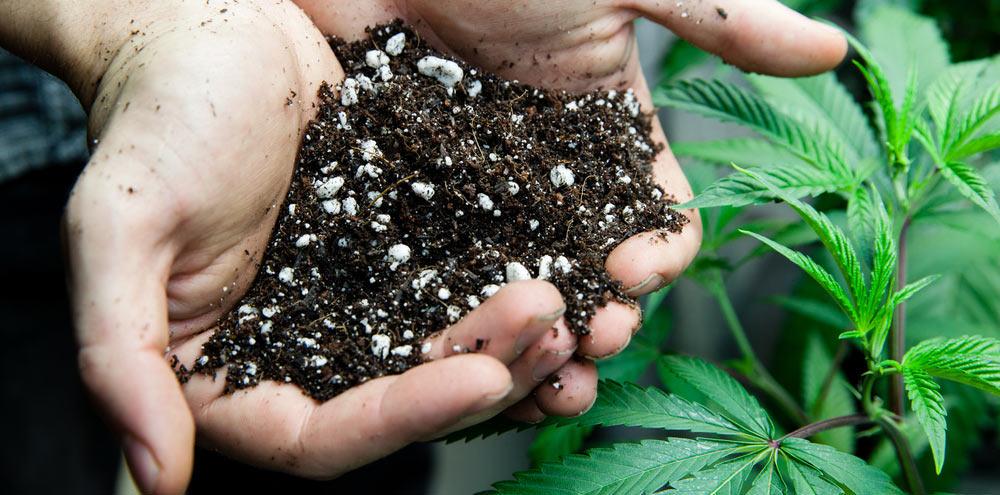 Substrat per a cànnabis. Foto de Cànnabis info