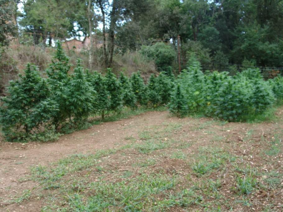 Plantes de marihuana en ple sòl