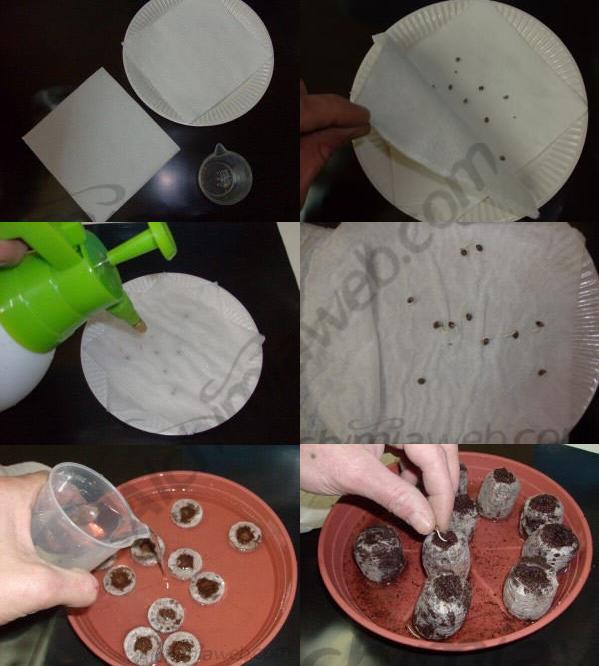 Com germinar llavors de cànnabis