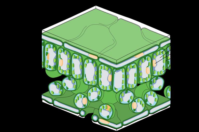 Secció d'una fulla