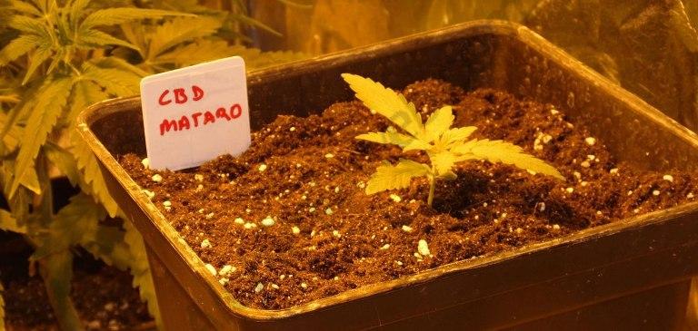Planta de cànnabis Mataró Blue CBD en fase de creixement