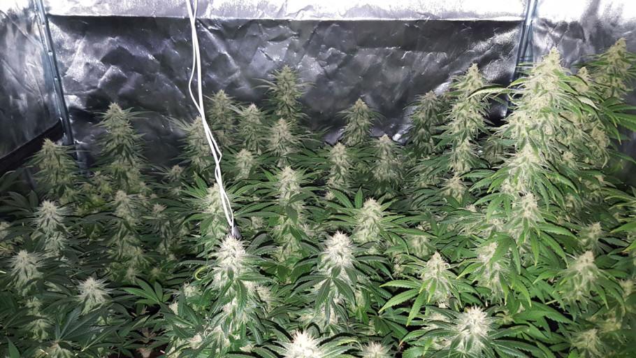 Seguiment de la Mataró Blue CBD de Kannabia Seeds