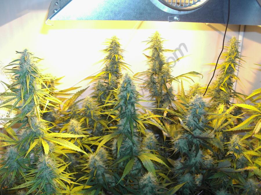 Plantes Super Silver Haze en un cultiu Indoor