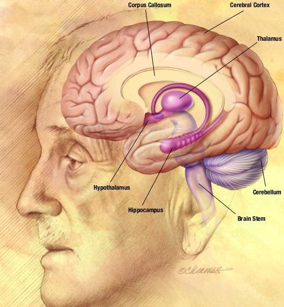 El cànnabis afecta diferents parts del cervell
