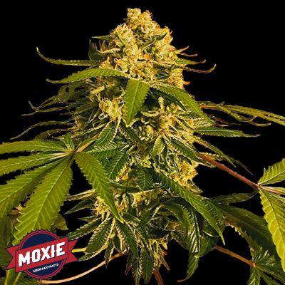 Lemon OG de Moxie Seeds, un dels seus parentals més utilitzats