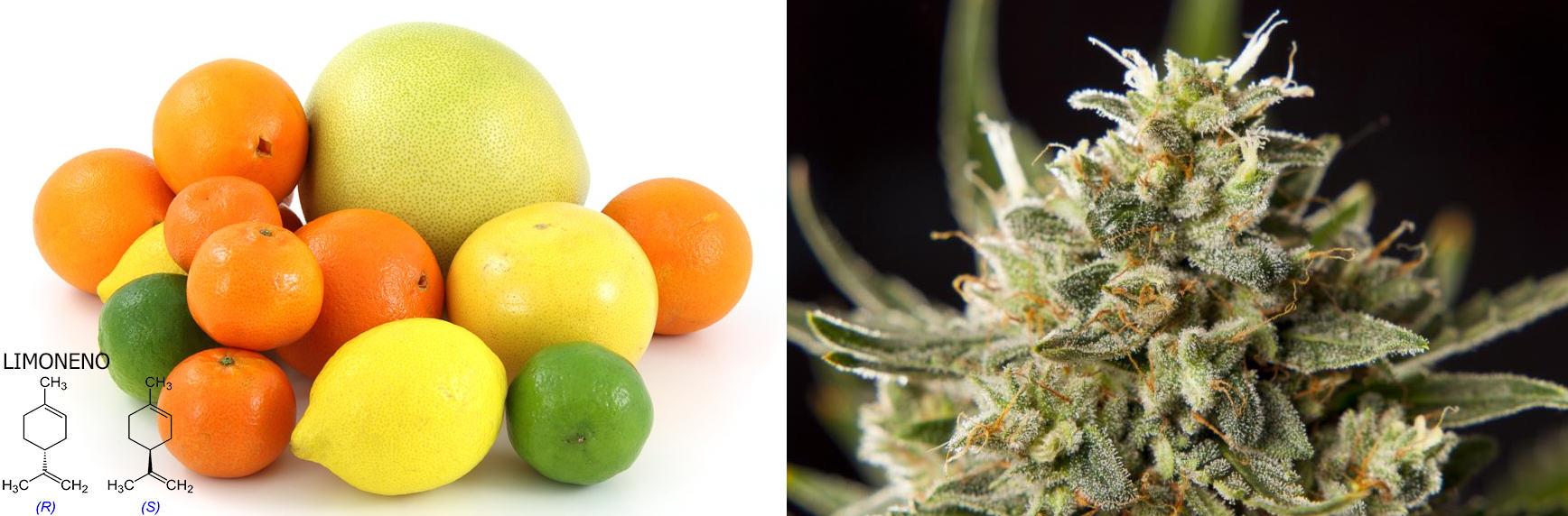 Moltes varietats de marihuana contenen limonè