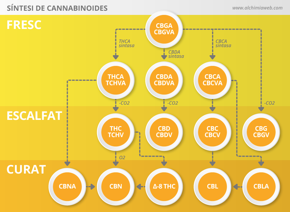 Síntesi de cannabinoides a partir del CBGA