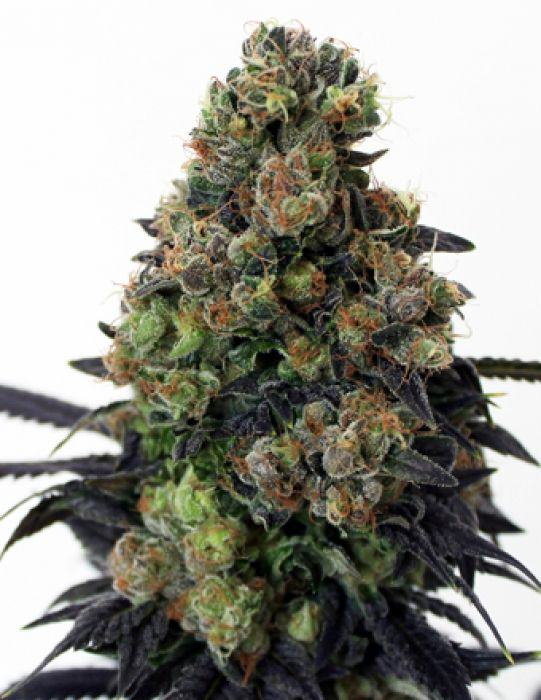 Acid Dough de Ripper Seeds, una Sativa amb gran rendiment