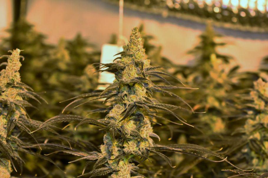 Les varietats de Colorado Seed presenten una gran estabilitat
